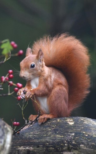 Come on you reds! How the British red squirrel is fighting back