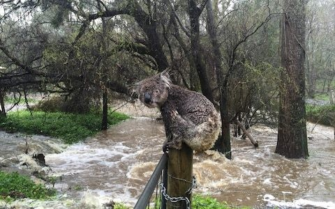 Rain douses some Australian bush fires but flash floods now threaten wildlife