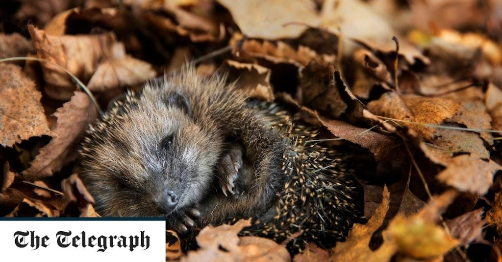British hedgehogs are now officially vulnerable to extinction, here's how you can help save them