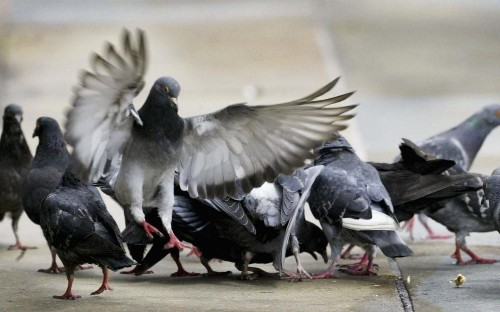 Spanish city to move thousands of 'nuisance' pigeons