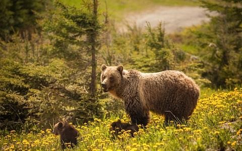 Glamping with grizzlies: What it's like to sleep next to wild bears