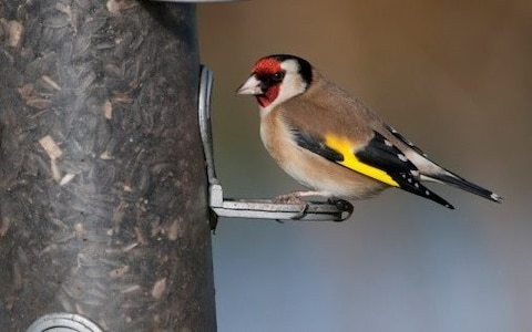 British obsession with bird feeding brings rarely-sighted birds into gardens