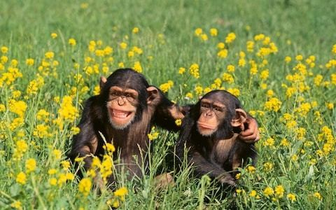 Multiscreening wrecks family bonding, study of apes indicates