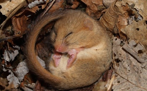 The discovery of a rare black dormouse is a reminder that this species needs our help