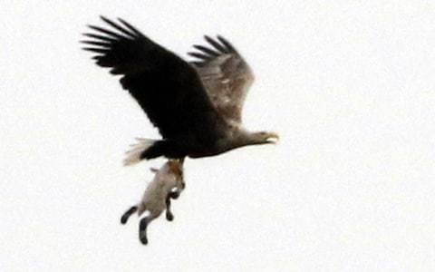 Remarkable photograph of eagle carrying a helpless lamb sparks fear among farmers
