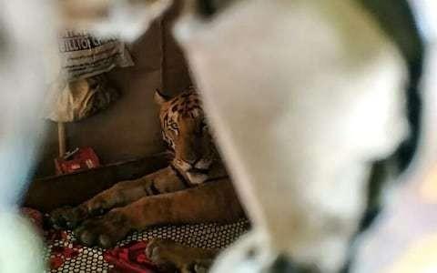Tiger flees wildlife park for Assam shop amid catastrophic India floods