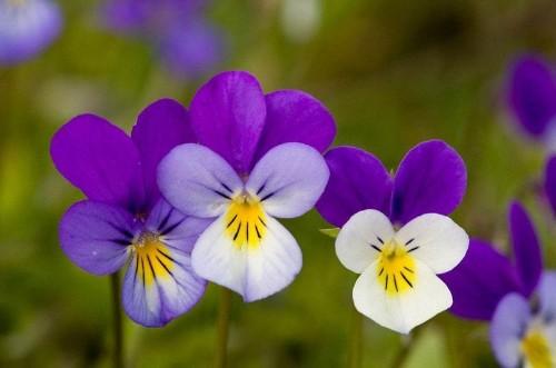 Gourmet garden: 10 delicious edible flowers to grow - Telegraph