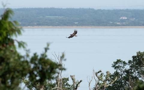 The eagles have landed: after being hunted to extinction these spectacular birds are back