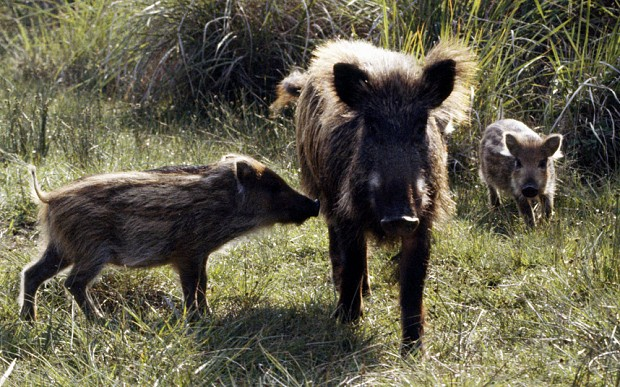 Tuscan wine makers back cull of 250,000 wild boar and deer