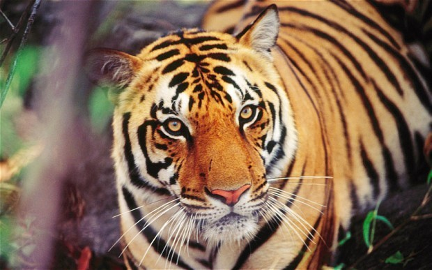 Tiger prowling for food kills 7 in India