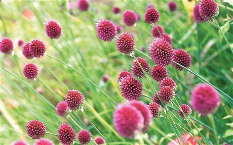 Alliums: perfect for your garden and your kitchen