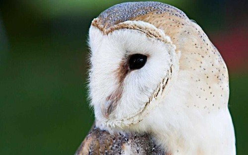 Nature notes: nest boxes boost barn owl population