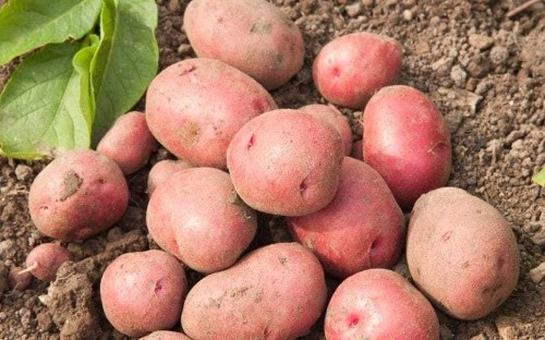Top 10 potatoes to grow for flavour