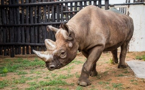 Keepers spent months hugging five rhinos to prepare them for journey from Europe to Rwanda