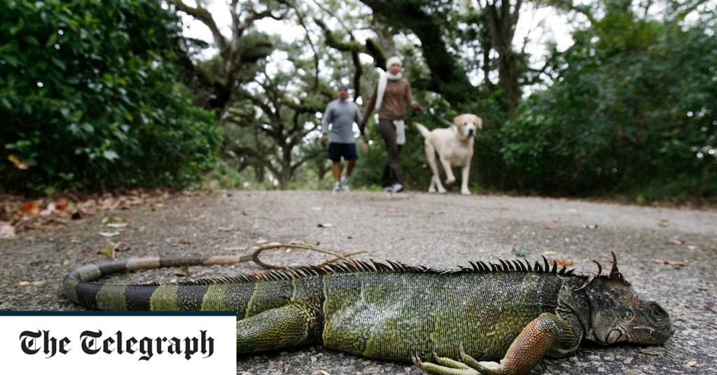 Frozen iguanas falling out of trees as icy weather hits Florida