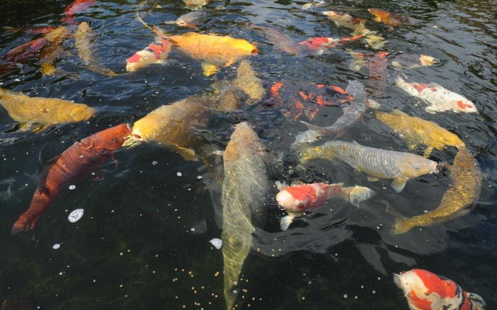 The Koi Fish Pond - cover