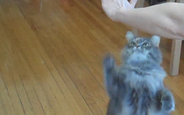 Skilled cat performs seven tricks in one minute