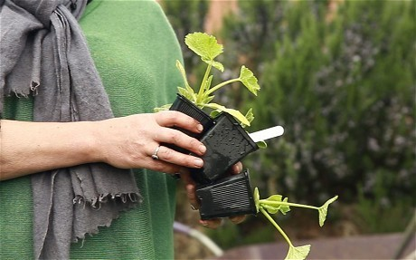 How to plant out courgettes