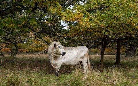 Blenheim estate to be roamed by 'wild' cattle for first time in a century in bid to revive oak forest