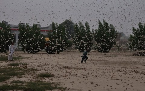 Food security fears as locusts destroy crops in Pakistan's worst plague since the 1990s
