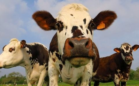 French mayor seeks heritage status for sounds of the countryside as residents complain about cockerels and cows