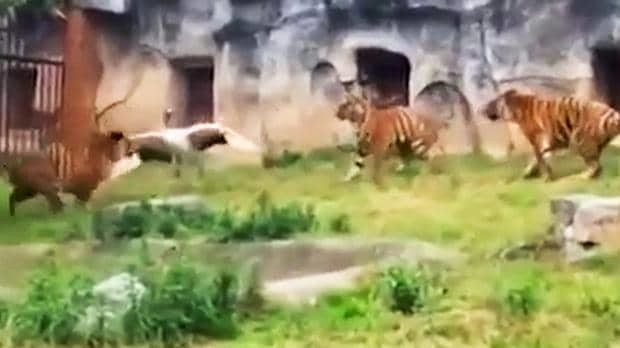 Bird fights off double tiger attack at China zoo
