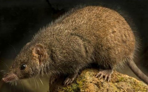 Discovered: The 'very hairy' marsupial which dies from 'frantic' mating