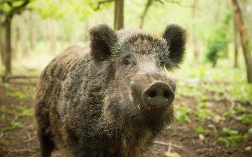 Texas hunters could soon be allowed to shoot wild boar from hot air balloons - but it's no joke