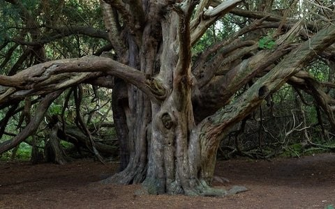 Ancient yew tree where Druids may have worshiped shortlisted for Tree of the Year