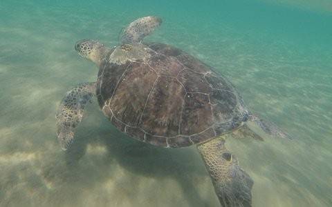 Turtles eat more black and green plastic as it looks like sea grass, scientists find
