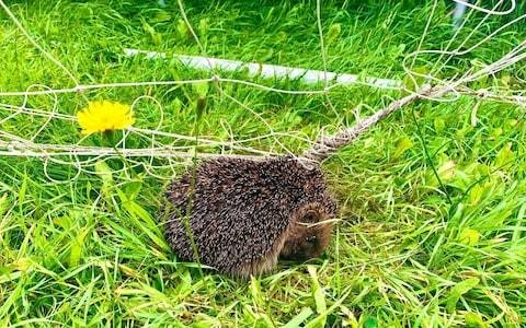 Bring in your football and badminton nets to save hedgehogs, RSPCA asks