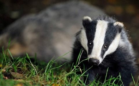 Natural England accused of setting farmers 'impossible task' over badger culls