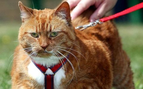 America's obesity problem spreads to its cats, new study finds