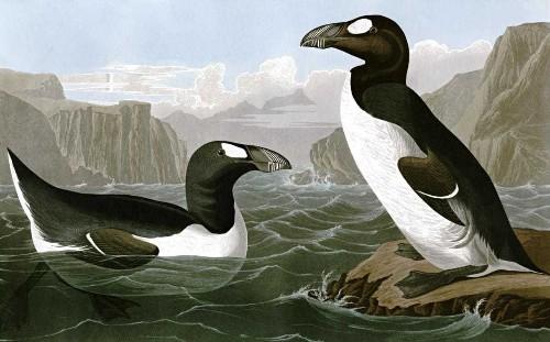 Plot hatched to reintroduce extinct great auk to British shores