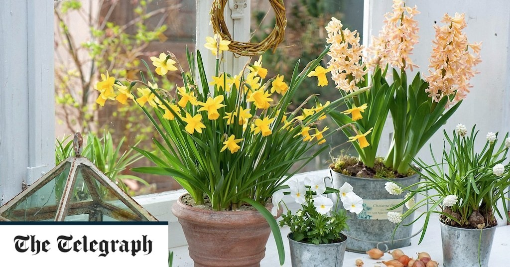 How to trick bulbs into flowering in time for Christmas