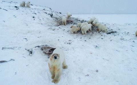 Dozens of polar bears stranded outside Russian Arctic village because of melting ice