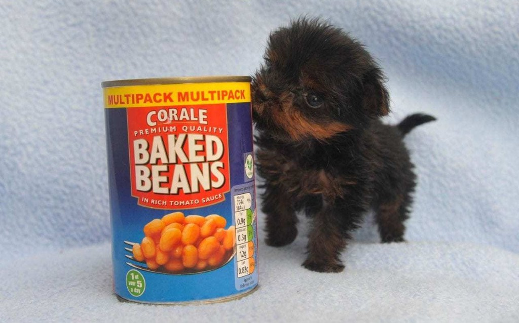 Britain's tiniest puppy stands as tall as a tin of beans