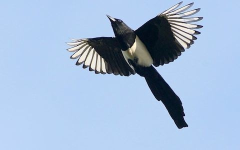 Australian man dies after swooping magpie causes him to fall off his bike
