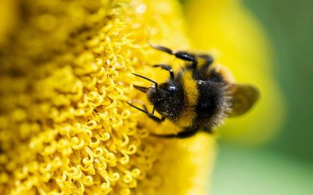 Tiny parasite could be behind massive worldwide decline of bees
