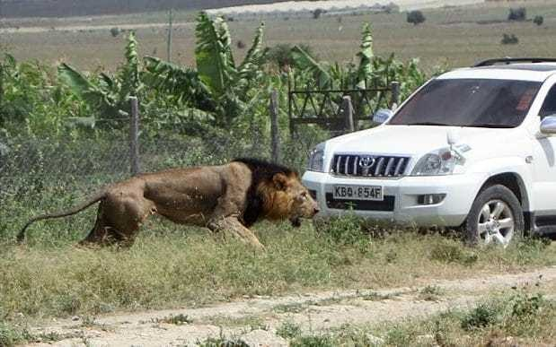 Mohawk the lion shot dead in Kenya after attacking man