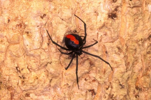 'Unluckiest man in Australia' bitten on the penis by a spider for the second time