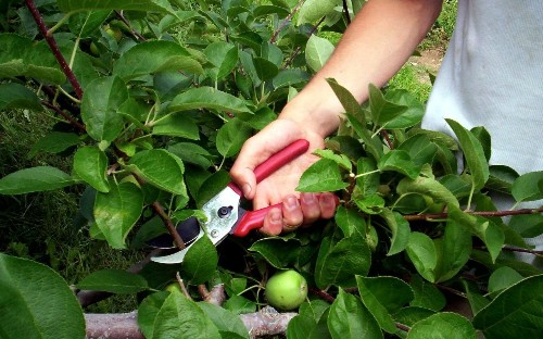 Grow to eat: summer pruning for trained apples and pears