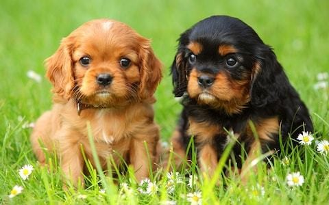 Rise in unwanted puppies because 'click and collect' generation do not think about the consequences