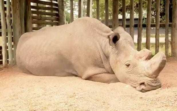 'This is what extinction looks like' - photo of last male northern white rhino goes viral