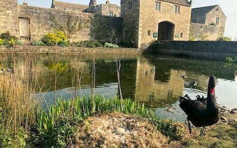 Black swan stolen from 14th Century manor house in latest avian tragedy to strike Yorkshire moat