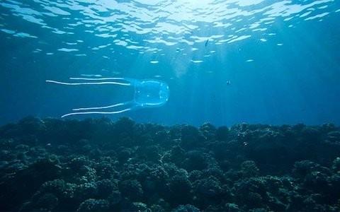 Boy dies from box jellyfish sting in Thailand