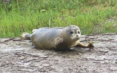 More than 100 seal pups born in the Thames 60 years after the river was declared 'biologically dead'