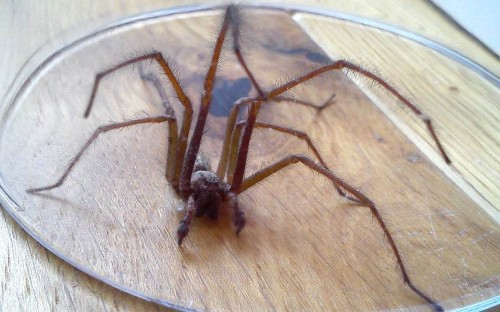 Terrifying spiders: Readers' pictures of the monster house spider invasion - Telegraph