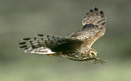 Police fail to prosecute single person for killing endangered birds of prey in 2016, warn RSPB
