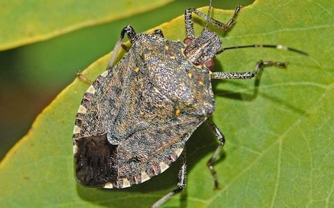 Traps sent to catch stink bug, amid fears it will travel to UK and decimate berry crops